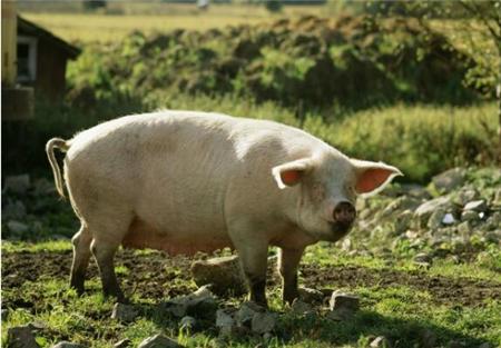 山东省猪价下跌0.5元/攻击,猪价暂无上涨希望!