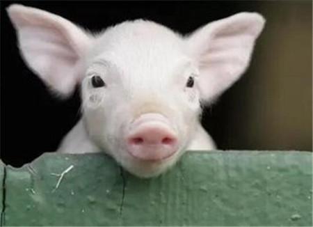局部地区猪价跌幅达2元 吉林生猪恢复外调