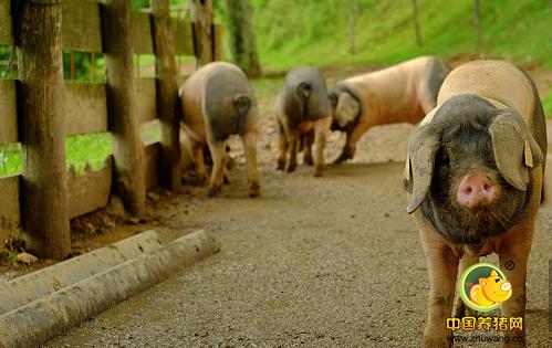 此时补栏仔猪风险大!疫情笼罩下真能捱到猪价上涨?