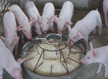 仔猪价下跌 养殖户担忧