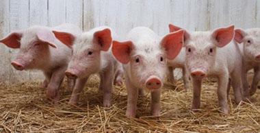 全国生猪市场震荡下跌趋势明显,均价逼近9.96元/公斤!