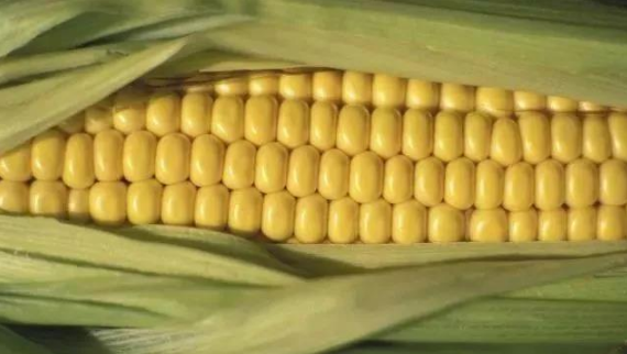 2-3月份玉米价格将大爆发!