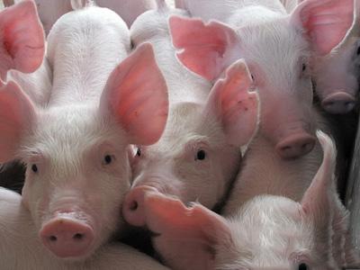 华北 华中多地猪价冲击6.5!东北屠企仍在压价!