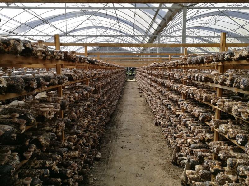 冬季如何打理香菇大棚预防菇蕾死亡