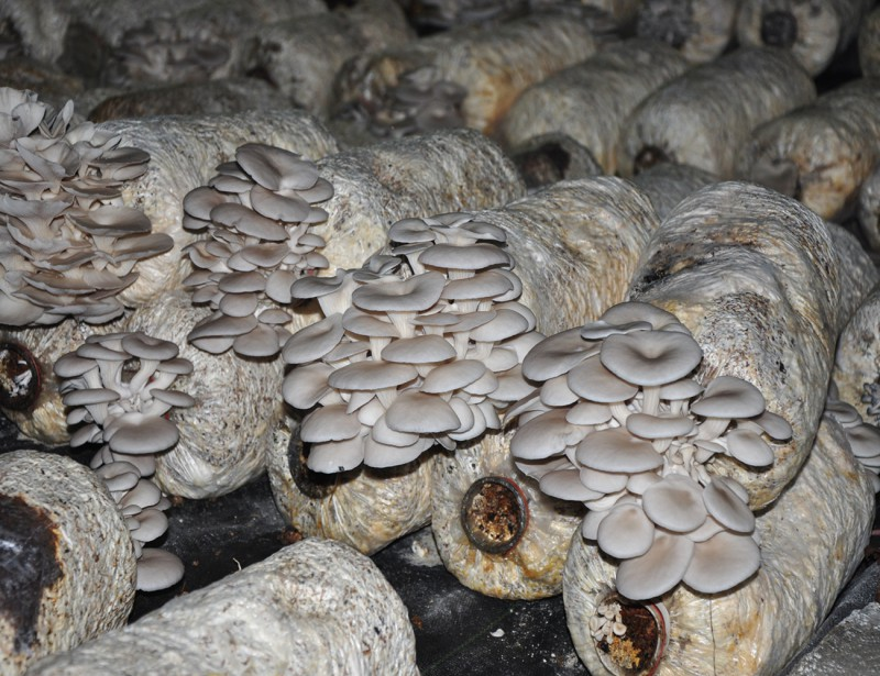 用豆秸栽培平菇助增产增收