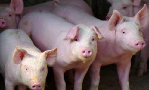 三全食品郑州商超促销员甩锅 养殖基地早已猪去舍空