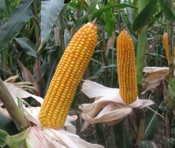 下周玉米市场影响因素及行情判断