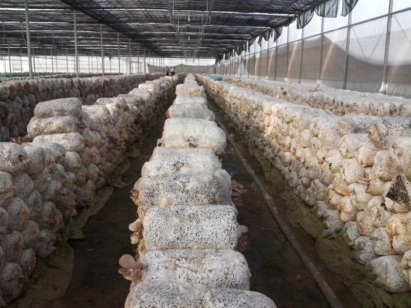春季平菇菌丝生长慢的对策