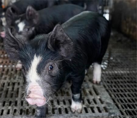 猪价上涨再次来临,行情能否持续到月底?