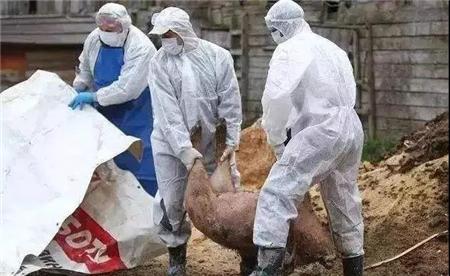 日本爱知县向野猪投放疫苗饵食 防止猪瘟感染