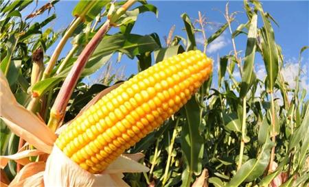 东北玉米价格小幅回暖,今年临储拍卖价格将决定未来的底部