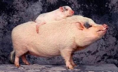 区域猪价差提升毛利 猪瘟促双汇交出历史最赚钱年报