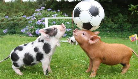 冻肉收储、猪肉进口,都在预示猪价将要起飞