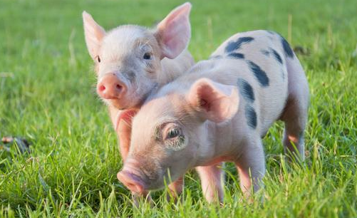 猪价连涨催热概念股,业内押注景气度超预期!