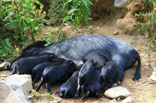 藏香猪产业发展开启新模式