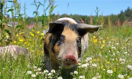 猪价快速上涨引发通胀担忧 夏季或再冲高!