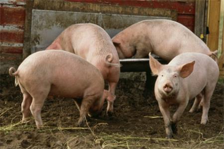 二季度猪价涨幅预计达20% 下半年或将创新高!