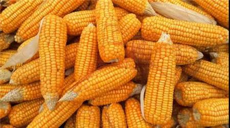 国家队出手收粮,玉米价格会大涨?