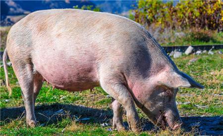 猪价将再创新高!母猪产能预计下降17%