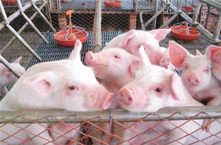山东省畜牧兽医局:种猪下降41.2%!加快恢复生产!