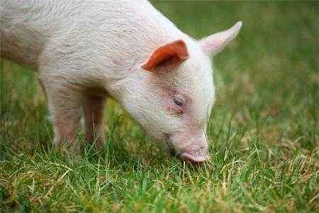 农业要闻:山东仔猪价大幅上涨意味着什么?