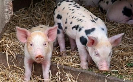 俄企投资50亿美元进军中国生猪养殖和饲料加工市场