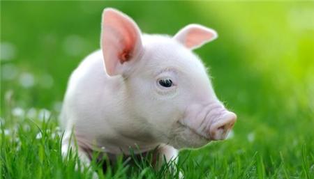 流感致死的猪露天堆放至发臭 原因让人无语……