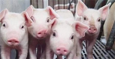 二十一省非瘟疫区全部解除封锁 生猪市场将呈何走势