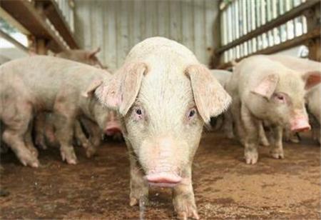 """""""运猪变运肉""""!生猪的产区和销区的变化猪经纪人这么说!"""