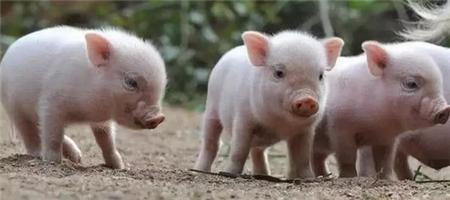 泰国拨款1.5亿铢应对非洲猪瘟,并将其列入国家议程。