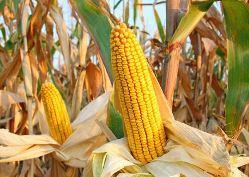 玉米布下迷魂阵,刚落几天价格又涨了!