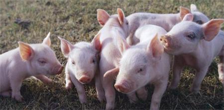 全国飘红地区增多,猪价开启新一轮上涨模式?
