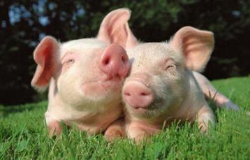 猪价震荡回调 仔猪需求旺中不旺