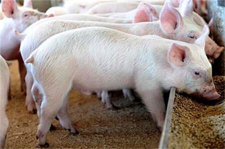 南方养殖户补栏积极性偏低,局部仔猪有价无市!
