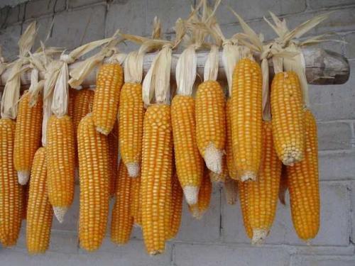 拍卖成交率再创新低 玉米价格持续下跌