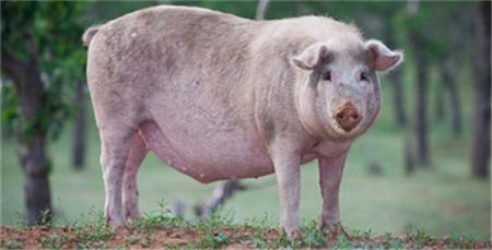 生猪价格继续上涨,或将突破历史最高点!