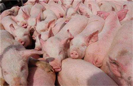 8月国内生猪价格飙27% 分析师料9月仍会上涨!
