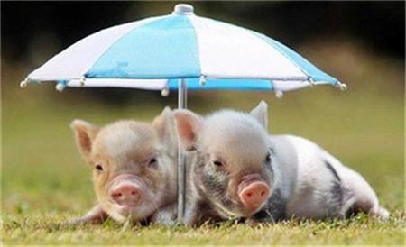 商务部部长钟山:假期猪肉供应充足,物价稳定