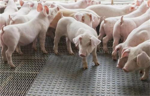 猪价还要涨多久 根本上取决于生猪供给能否恢复